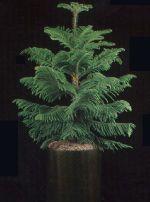 Thumbnail Plant Care Instruction eBook for Norfolk Island Pine / Araucaria Hetrophylla (pdf)