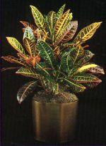 Thumbnail Plant Care Instruction eBook for Croton / Codiaeum Variegatum 'Petra' (pdf)