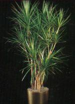 Thumbnail Plant Care Instruction eBook for Dracaena / Dracaena Marginata (pdf)