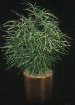 Thumbnail Plant Care Instruction eBook for False Aralias /  Diszygotheca Elegantissima  (pdf)