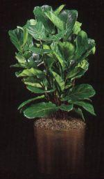 Thumbnail Plant Care Instruction eBook for Fiddle Leaf Fig / Ficus Lyrata  (pdf)