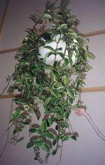 Thumbnail Plant Care Instruction eBook for Hoya / Asclepiadaceae (pdf)