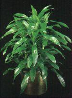 Thumbnail Plant Care Instruction eBook for Janet Craig / dracena  (pdf)