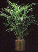 Thumbnail Plant Care Instruction eBook for Kentia Palm / Howeia Forsteriana (pdf)