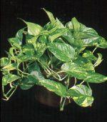 Thumbnail Plant Care Instruction eBook for Philodendron / Golden Pothos (pdf)