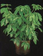 Thumbnail Plant Care Instruction eBook for Schefflera / Brassaia Actinophylla  (pdf)