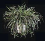 Thumbnail Plant Care Instruction eBook for  Spider Plant / Airplane Plant / Chlorophytum Comosum (pdf)