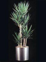 Thumbnail Plant Care Instruction eBook for Yucca  /  Yucca Elephantipes Tree  (pdf)